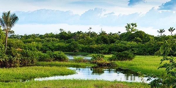 Açaï : arbre qui fait naitre les baies d'açaï bonnes pour la santé et la minceur